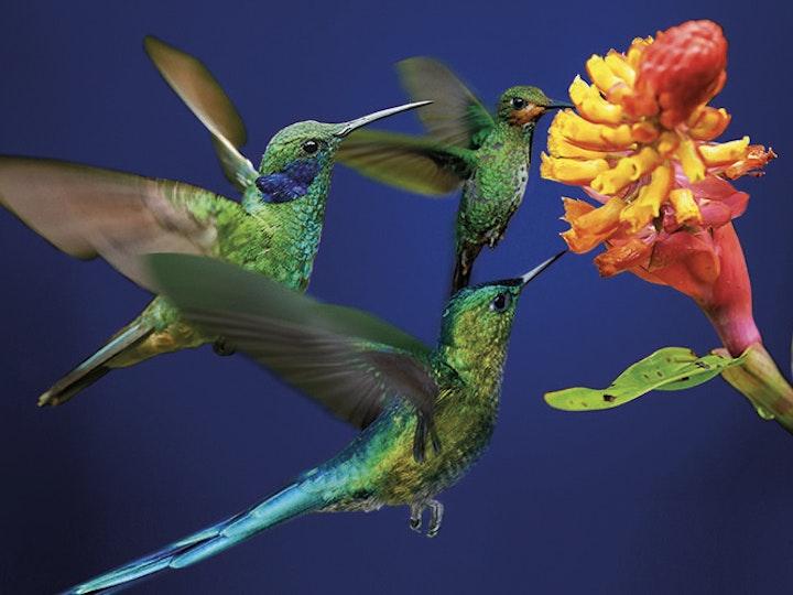016859 A1 Henley Web Images 0004 Hummingbird mtime20180216152355