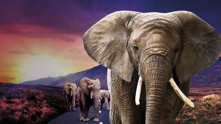 016859 A1 Henley Web Images 0003 Elephant