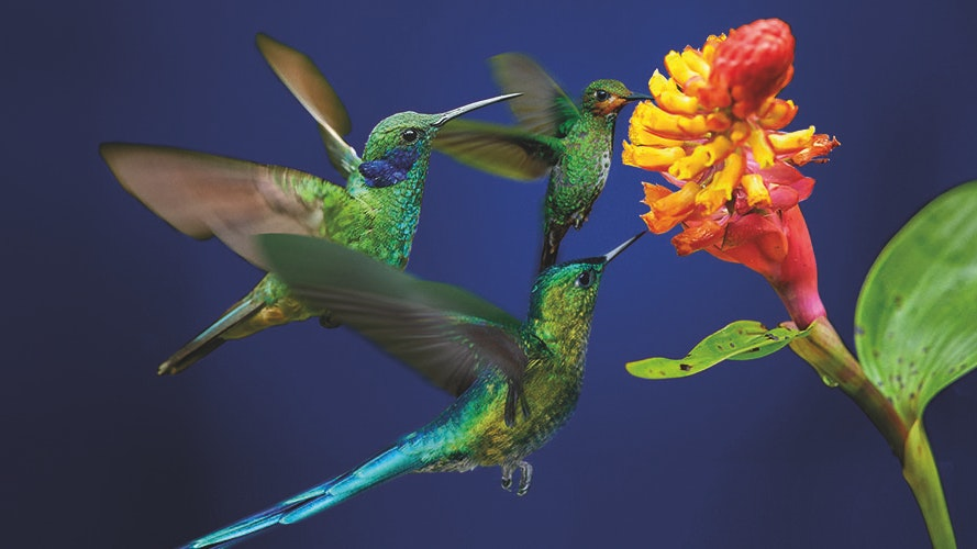 016859 A1 Henley Web Images 0004 Hummingbird